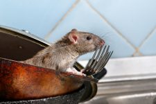 Rat Pest Control Melbourne